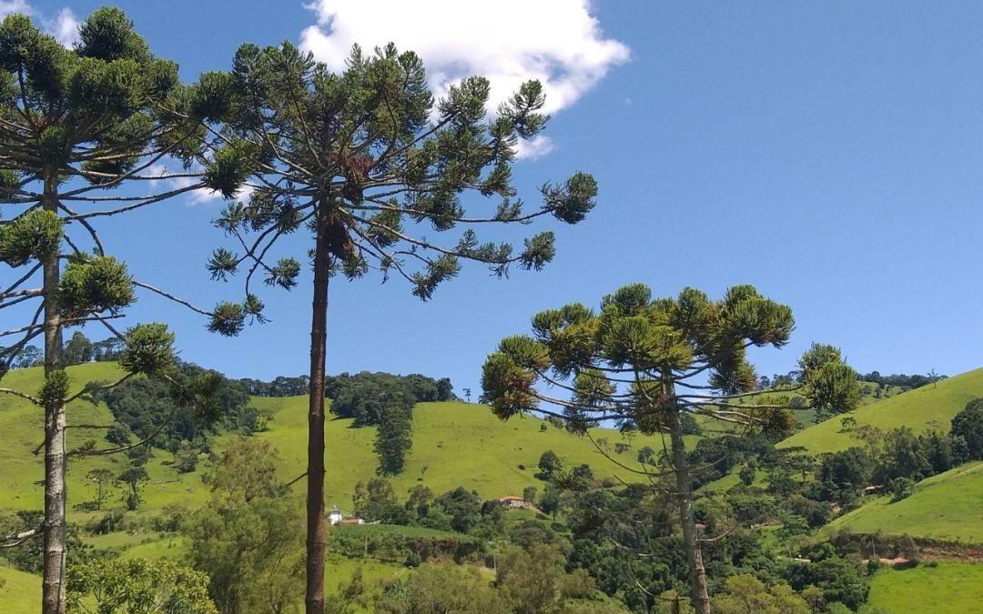 Dia da Árvore: projeto busca salvar araucárias da extinção